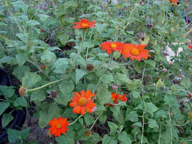 Mexican Sunflowers (Tithonia) Closeu10