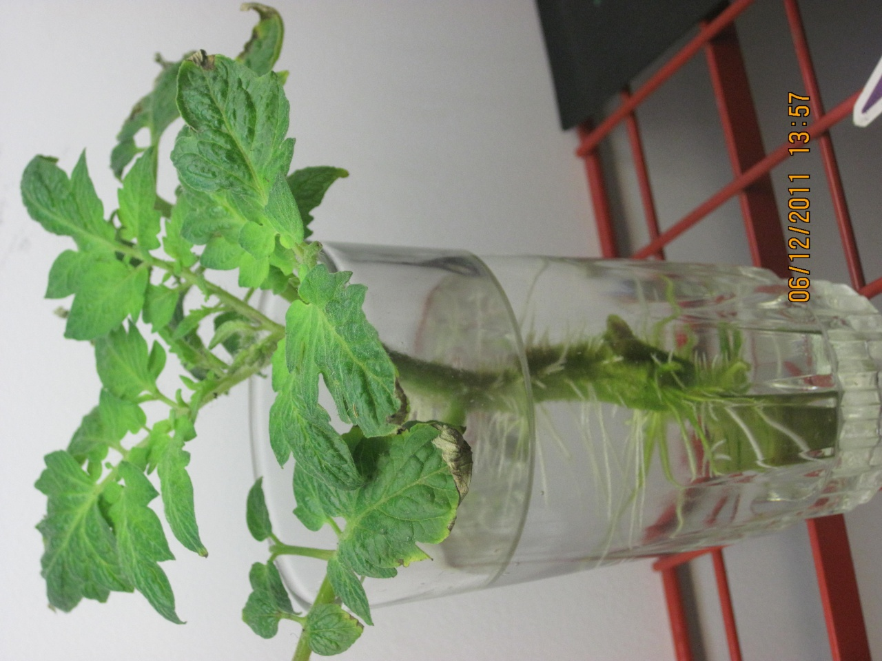 Dying tomato plant... bad weed cloth ? Garde119