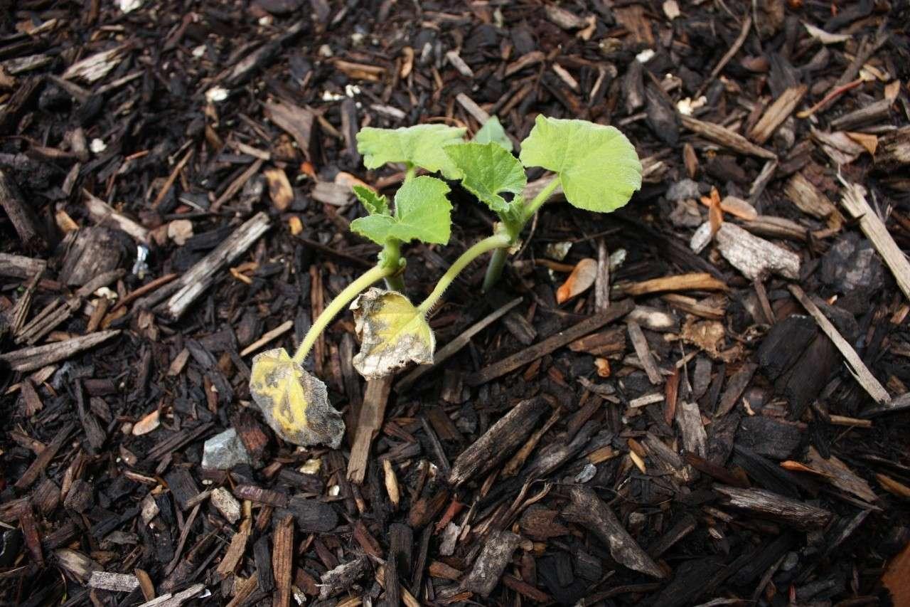 Shriveling Leaves Img_1822