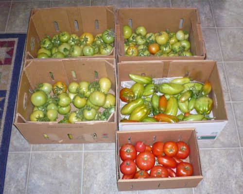 Green Tomatoes and no more time... Last-t10