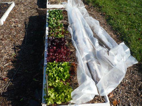 Upper South Fall Garden update Saladb10