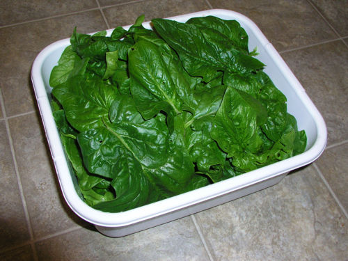 Problems with Spinach and Lettuce Spinac10