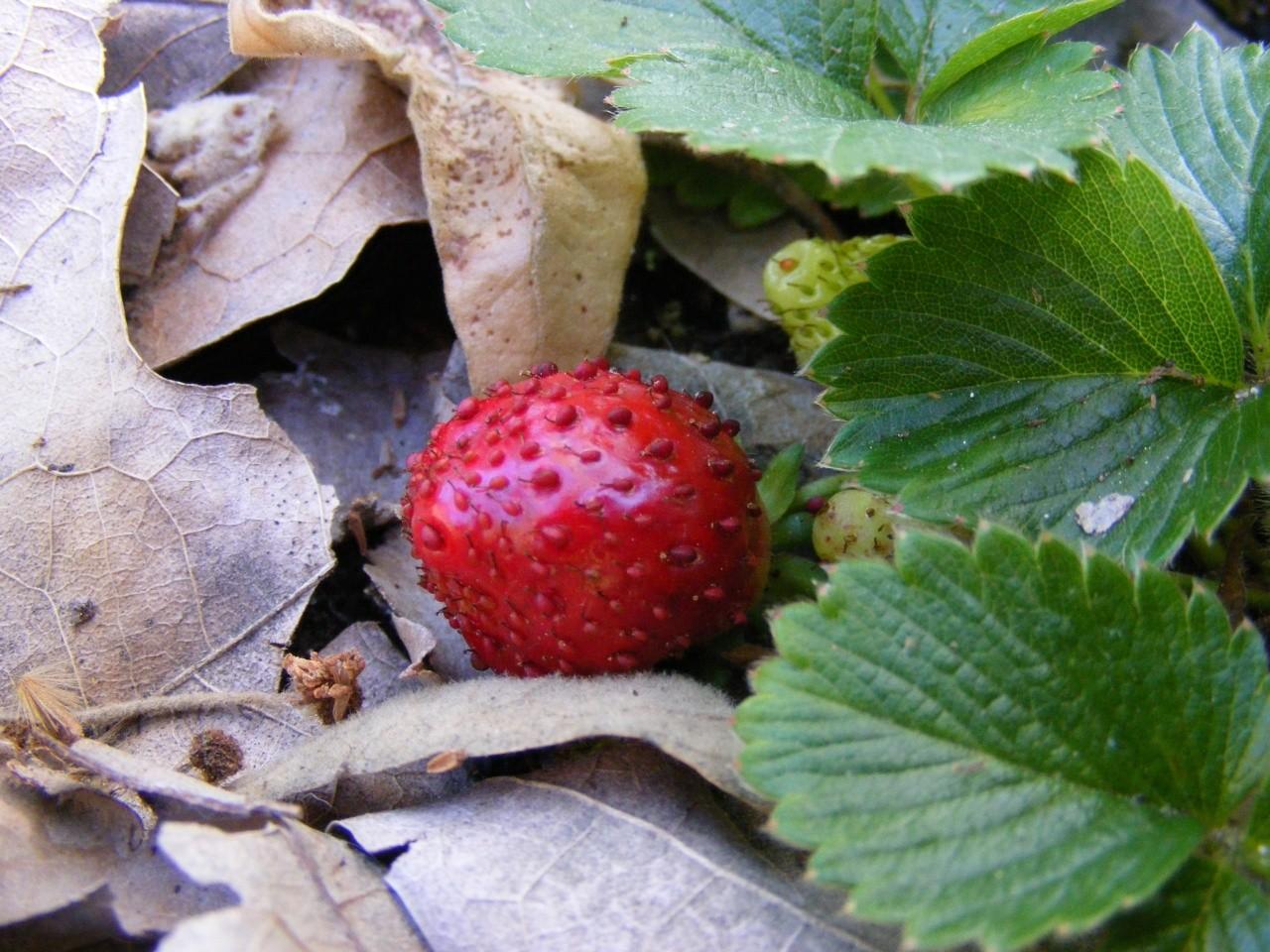 Strawberries 00214