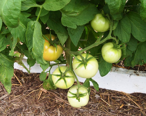 pinch tomato flowers? 03wv6310