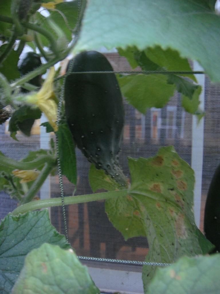 Odd growth pattern on cucumbers 10_07_40