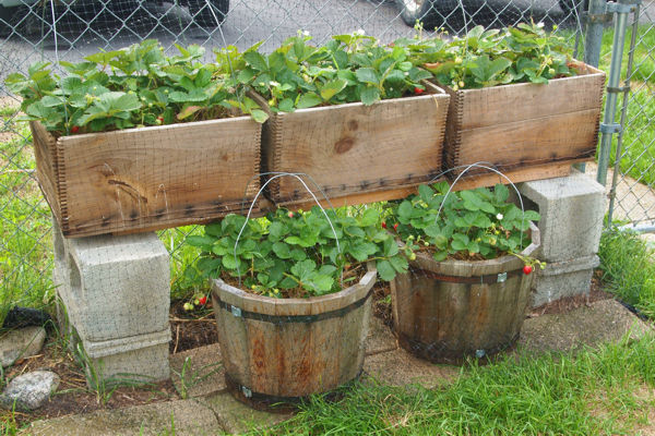 Strawberry plants dying back? 15stra10