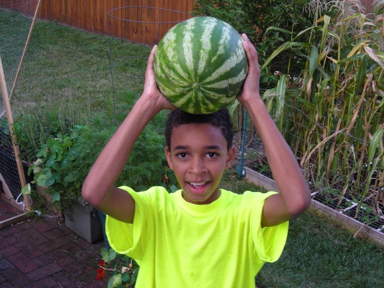 Watermelon on trellis 2008-411