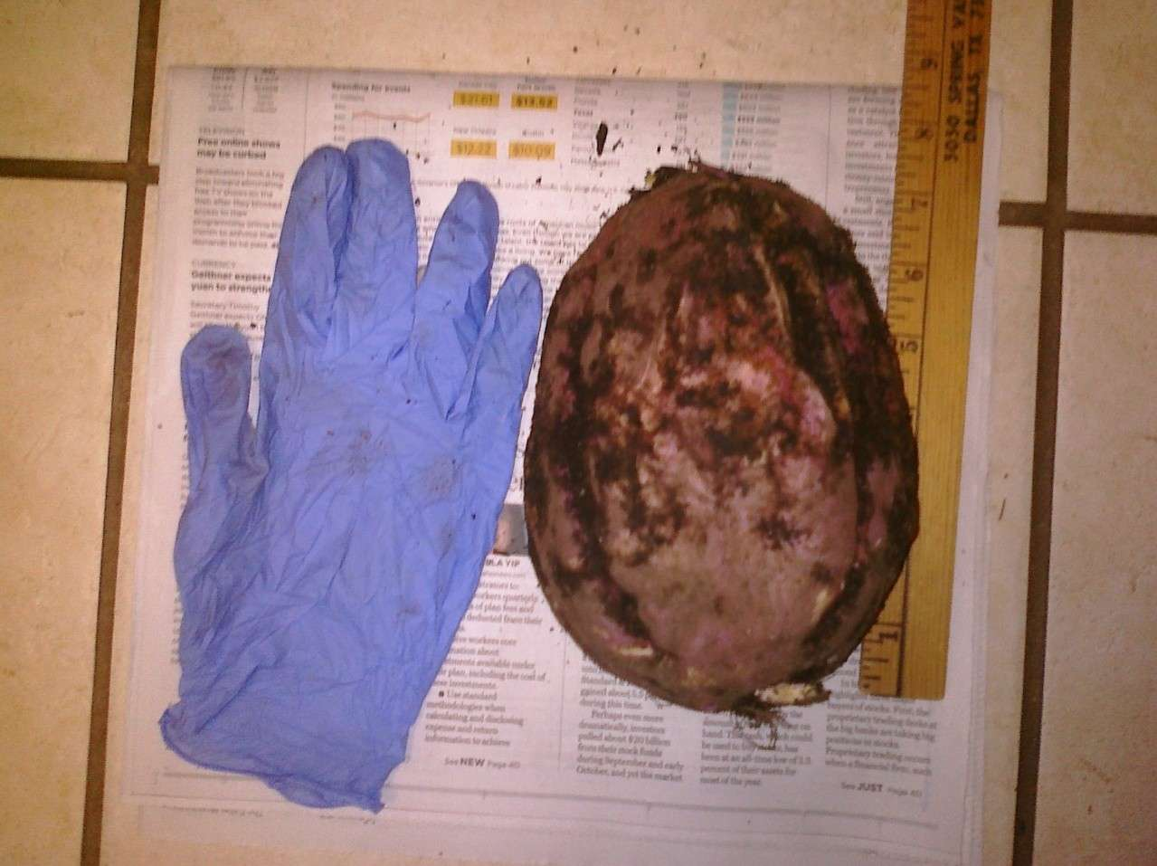 How big a sweet potato can get! Cimg0010