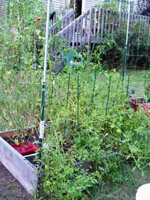 Tomatillos as a trap crop? Garden64