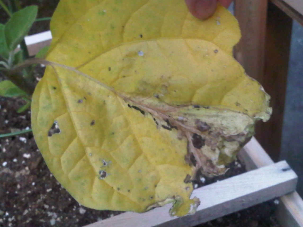 Leaves turning yellow on eggplant, broccoli and bush beans Img00314