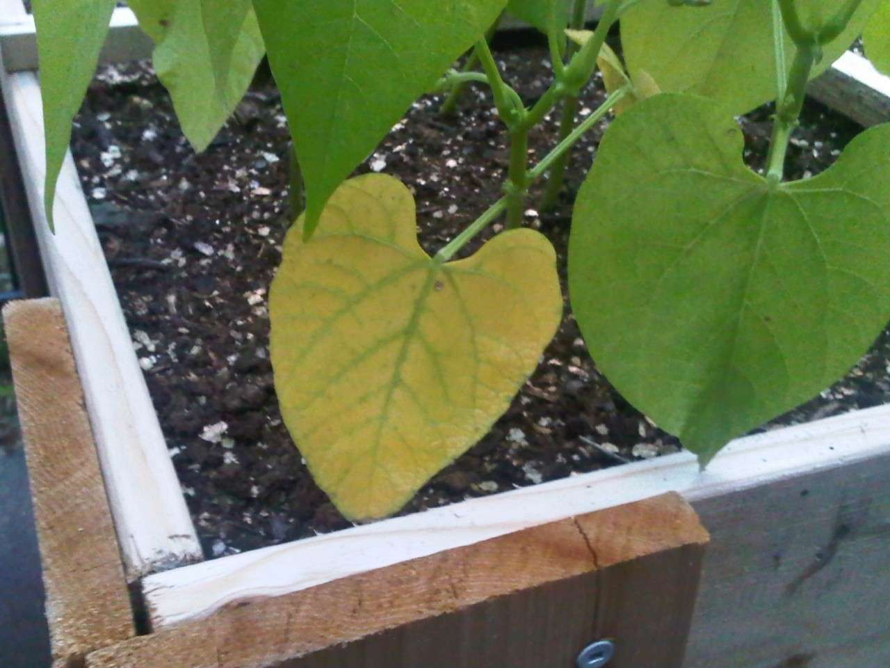 Leaves turning yellow on eggplant, broccoli and bush beans Img00316