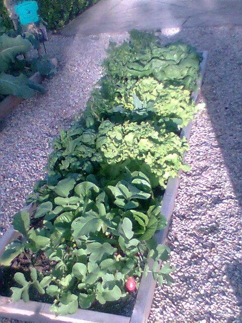 salad garden square Square14
