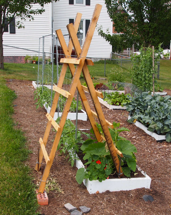 Training squash on a ladder trellis Squash15