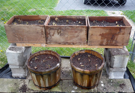 Strawberry plants dying back? Strawb12