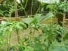 My Garden Update, Show me yours Cuke11