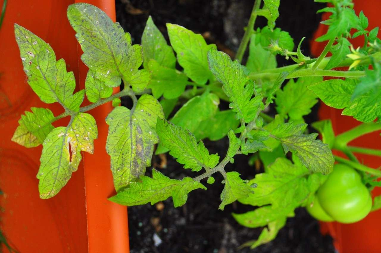 Confused about watering. Tomato17