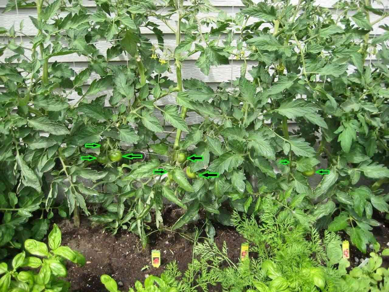 pictures of my cinder block SFG Tomato26